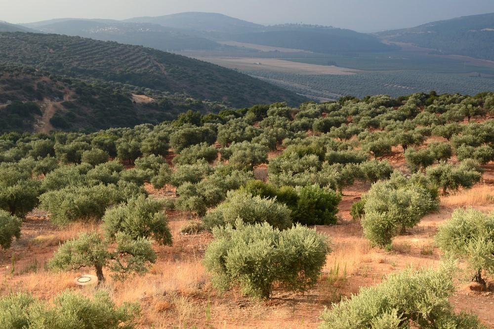 שמן זית ישראלי – השמן האהוב על הישראלים